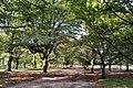 Richmond Park, Hornbeam Avenue.jpg