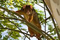 Ringtail Possum. Brisbane.jpg