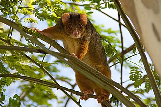 Common ringtail possum - Common ringtail possum in Brisbane, Queensland.