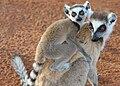 Ringtailed Lemurs in Berenty.jpg