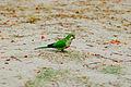 Rio de Janeiro Wild Parrots-3.jpg