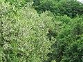 Robinia pseudoacacia, Sićevačka klisura, Niš, Srbija.jpg