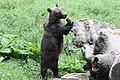 Romania bear (44158242481).jpg
