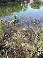 Rorippa palustris sl8.jpg