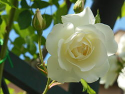 RosaCultivarIcebergClimbing-RosetoRoma 01.JPG