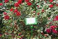 Rosa 'Plamja Vostoka' in the Botanical garden, Minsk.jpg