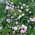 """Rosa """"Félicité et Perpétue"""". 03.jpg"""