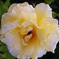 "Rosa ""Ghislaine de Féligonde"". 02.jpg"