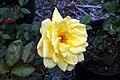 Rosa Oregold 1zz.jpg