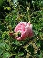 Rosa centifolia 2019-06-04 5449.jpg
