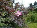 Rosa glauca 2016-05-31 1430.jpg