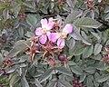 Rosa glauca inflorescence (40).jpg