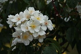Rosa moschata 1540.jpg