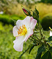 Rosa x dupontii. Locatie, De Kruidhof Buitenpost 02.jpg