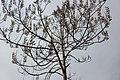 Rosales - Ficus carica - 3.jpg