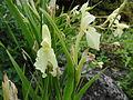 Roscoea cautleoides CHCH 1.JPG