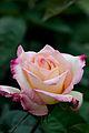 Rose, Garden Party - Flickr - nekonomania (5).jpg