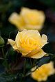 Rose, Gold Bunny - Flickr - nekonomania.jpg