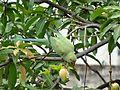 Rose-ringed parakeet, Delhi.jpg