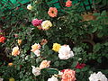 Rose from lalbagh year 2012 - 1665.JPG