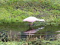 Roseate Spoonbill 0140.JPG