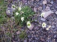 Rosella de Svalbard2.JPG
