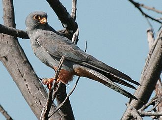 Red-footed falcon - Adult male