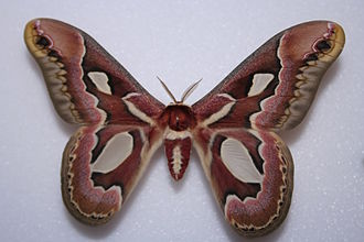 Rothschildia - Rothschildia jacobaeae, type species of the genus