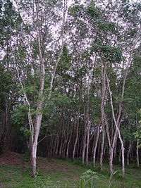 Rubber tree plantation.JPG
