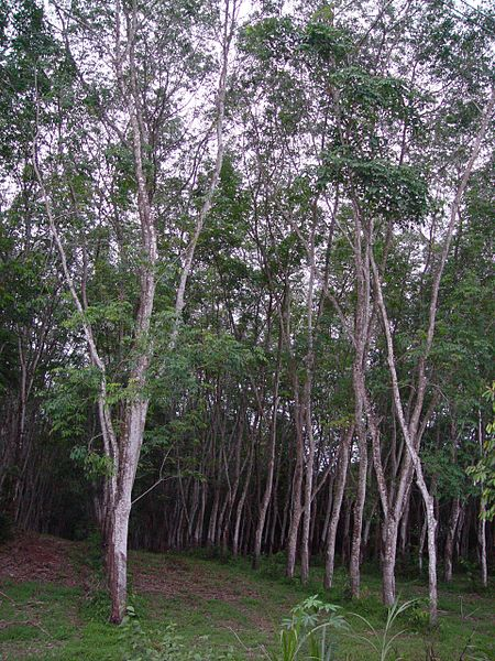 ファイル:Rubber tree plantation.JPG