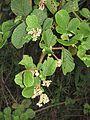 Rubus ellipticus - Yellow Himalayan Raspberry at Mannavan Shola, Anamudi Shola National Park, Kerala (7).jpg