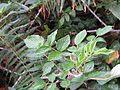 Rubus niveus - Mysore Rasp berry at Mannavan Shola, Anamudi Shola National Park, Kerala (16).jpg