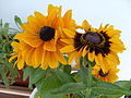Rudbeckia-flowers-close-up.jpg