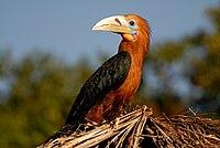 Rufous-necked Hornbill.jpg