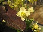 Ruhland, Grenzstr. 3, gelbe Elfenblume im Garten, blühend, Frühling, 10.jpg