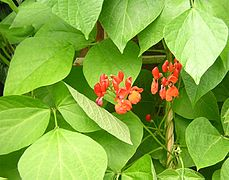 Runner bean flowers.JPG