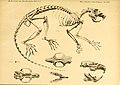 Säugethiere vom Celebes- und Philippinen-Archipel (Taf. XIII) (5984631851).jpg