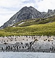 SGI-2016-South Georgia (Cooper Bay)–Macaroni and Chinstrap mixed penguin colony.jpg
