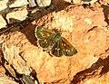 SKIPPERLING, MANY-SPOTTED (Piruna aea) (8-12-2018) upper humboldt canyon, patagonia mts, santa cruz co, az -01 (43982426752).jpg