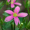 Sabatia angularis (1).jpg