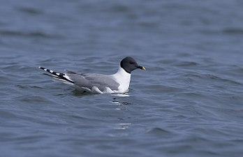 Sabine's Gull (Larus sabini) (Xema sabini) (10724042756).jpg