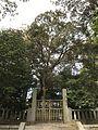 "Sacred tree ""Kashii"" of Kashii Shrine 2.jpg"