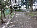 Sakura in Koganei Park.jpg