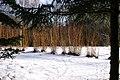 Salix-alba-Chermesina-coppice-2010-02-11-2.jpg
