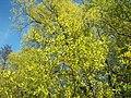 Salix alba 010.jpg