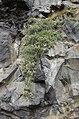 Salix arctica-pjt.jpg