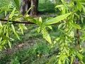 Salix babylonica. Desmayu (flor fema).jpg