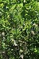 Salix starkeana 76405246.jpg