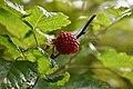 Salmonberry 2.jpg