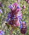 Salvia dorrii 3.jpg